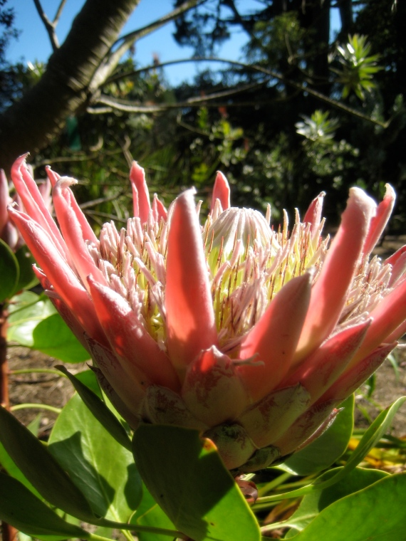 Proteaceae family